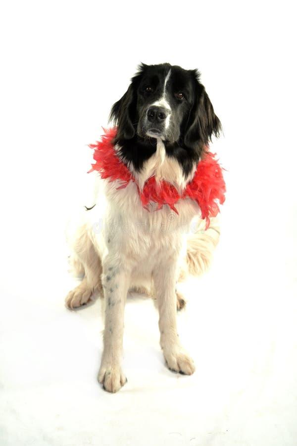 Landseer för romantiker för valentin för st för förälskelse för hund för Terre neuvenewfounland arkivbilder