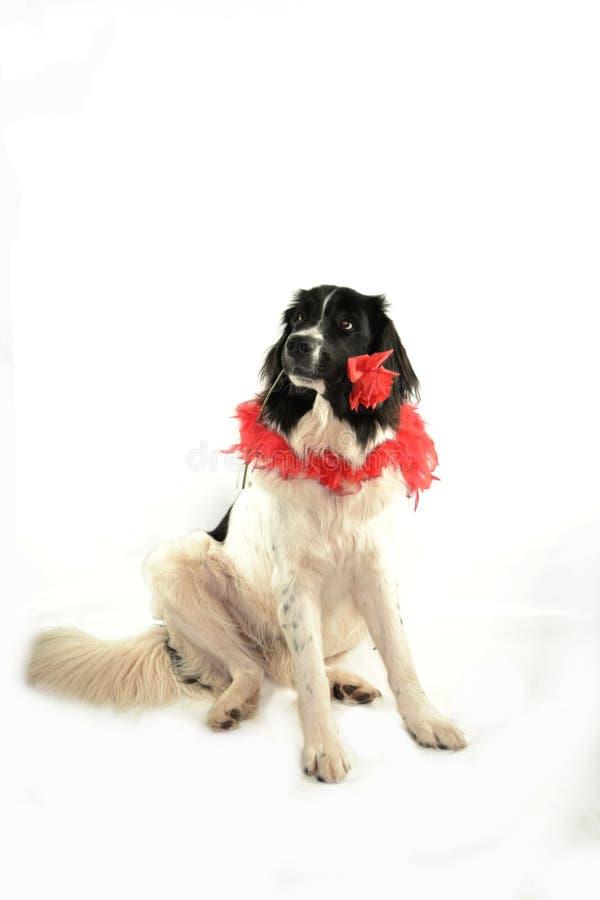 Landseer för romantiker för valentin för st för förälskelse för hund för Terre neuvenewfounland arkivbild