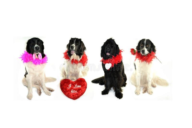 Landseer för romantiker för valentin för st för förälskelse för hund för Terre neuvenewfounland royaltyfri fotografi