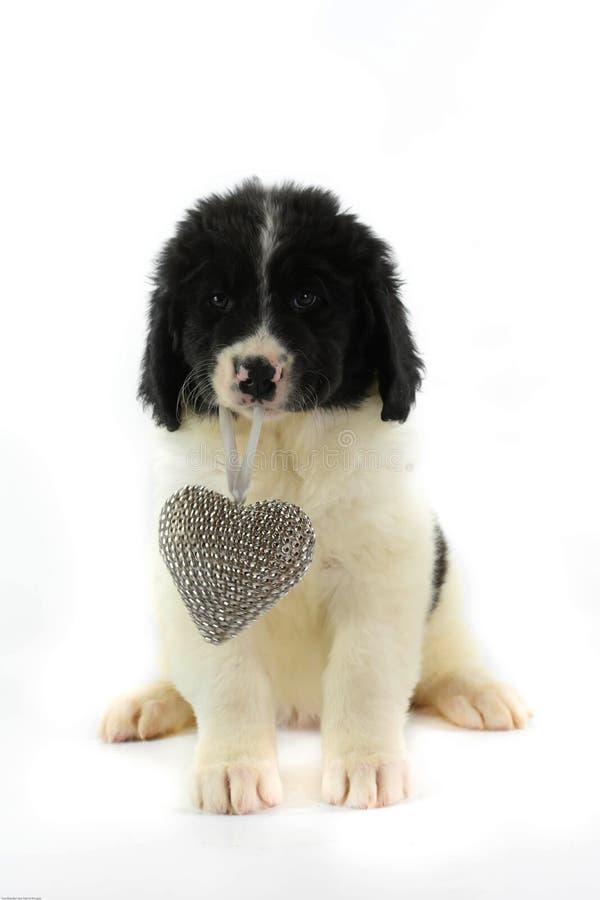 Landseer för romantiker för valentin för st för förälskelse för hund för Terre neuvenewfounland fotografering för bildbyråer