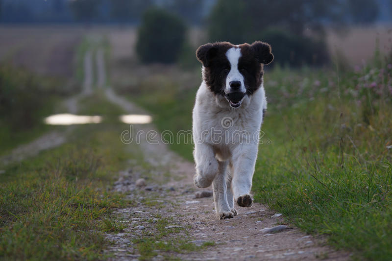 Landseer hund royaltyfria bilder
