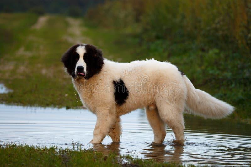Landseer hund som har gyckel arkivbild