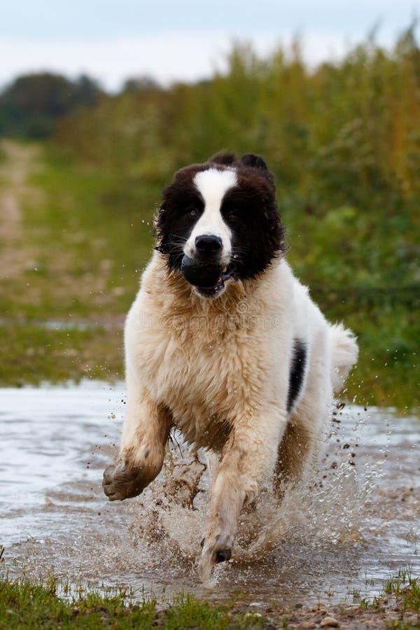 Landseer hund som har gyckel royaltyfria bilder