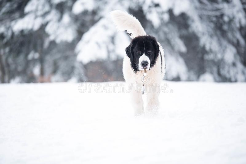 Landseer in the snow winter white playing pure breed stock photo