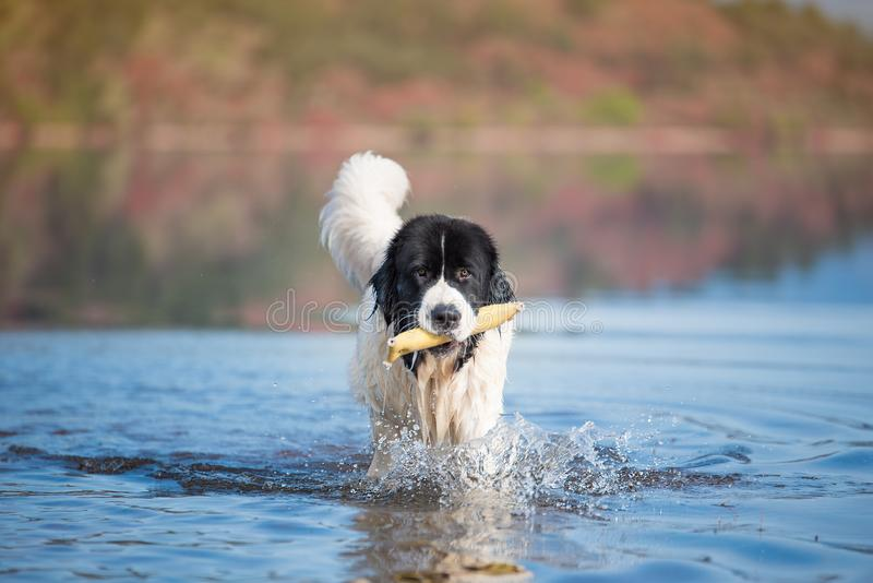 Landseer water work rescue dog stock image