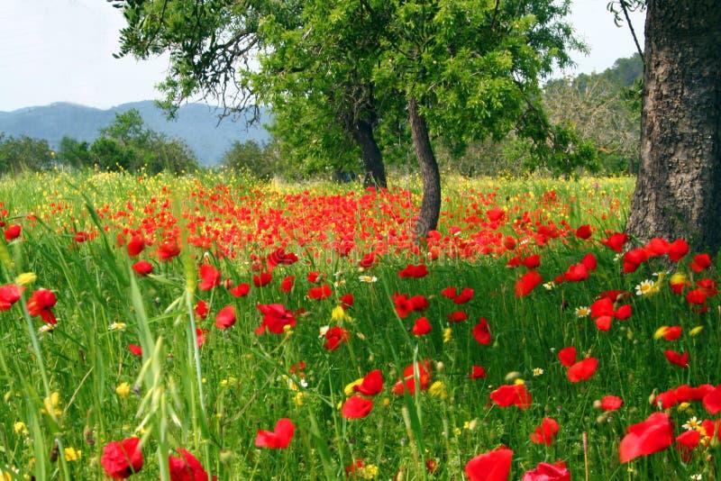 landsfältet blommar vallmon royaltyfria bilder