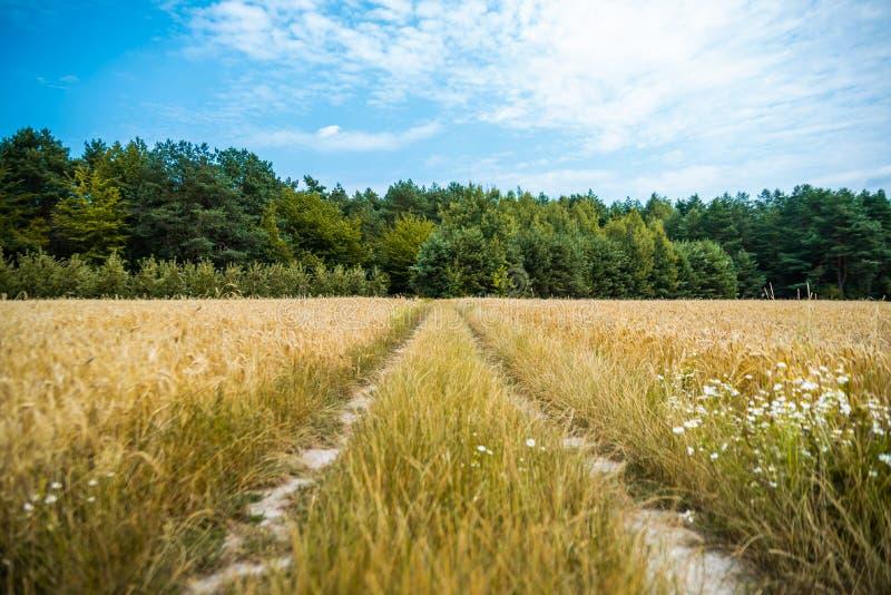 Landsgrusväg i Polen bland vetefält i juli, innan att skörda tid Blått tonad molnig himmel med den gröna blandade skogen in royaltyfria bilder