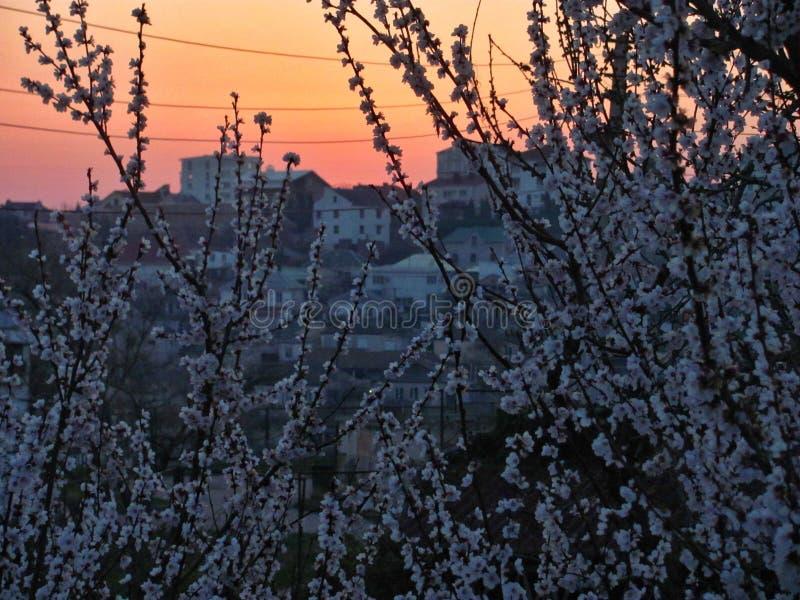 Landskap Aprikosfilialer i blom arkivfoto