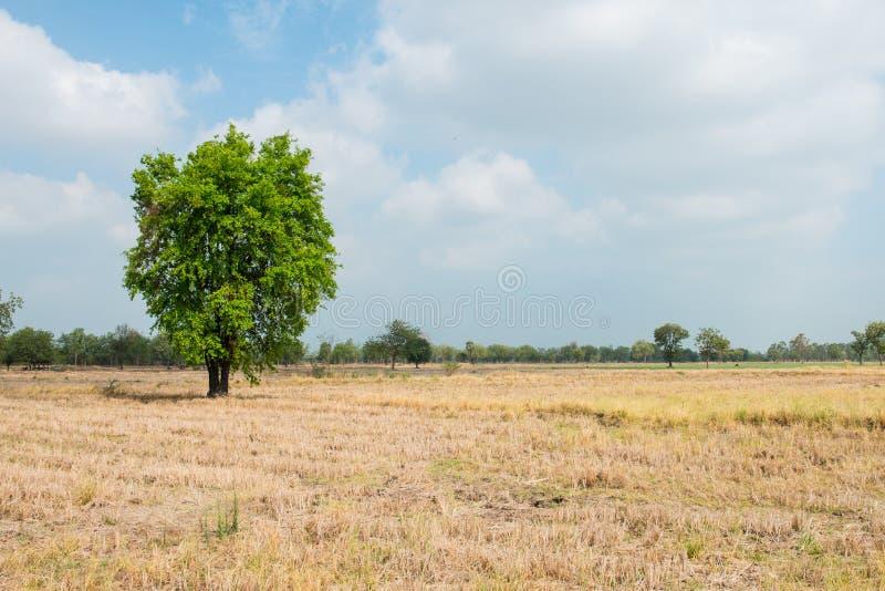 Landskap av den torra risfältet royaltyfri foto