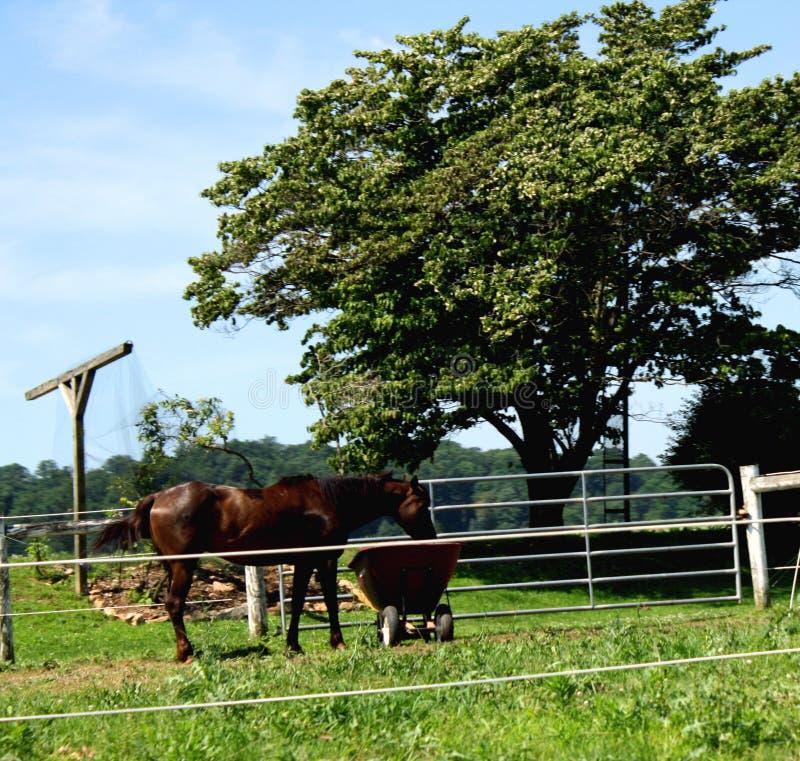 Landskap av en kastanjebrun kulör häst som äter ut ur en skottkärra arkivfoto