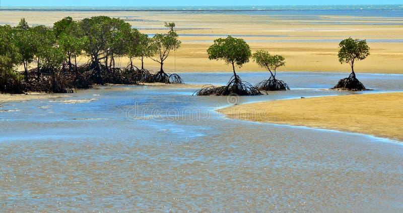 Landskap av en lös strand med australiska mangrovar i Queenslan arkivbilder