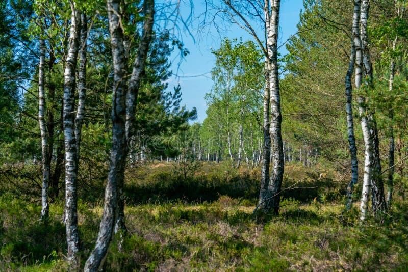Landskap av en naturreserv med ljungerica växter och björkar royaltyfri bild