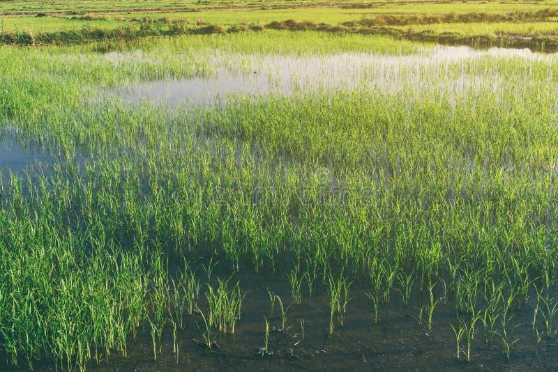 Landskap av greenfield- och risplantor arkivbild