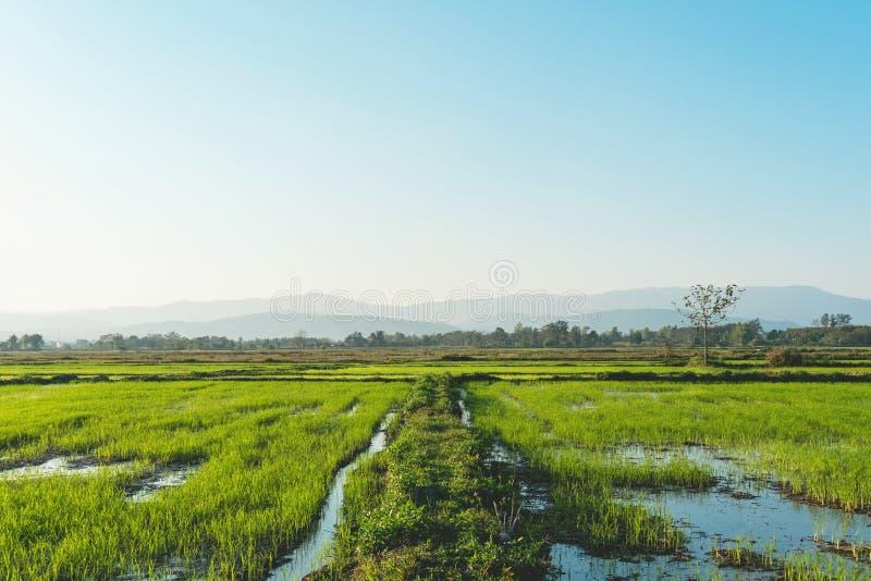 Landskap av greenfield- och risplantor royaltyfria foton