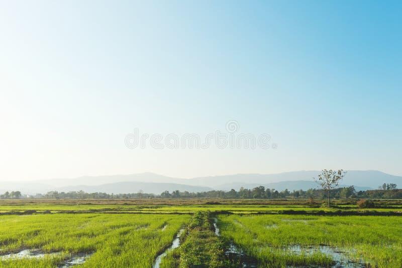 Landskap av greenfield- och risplantor arkivfoton