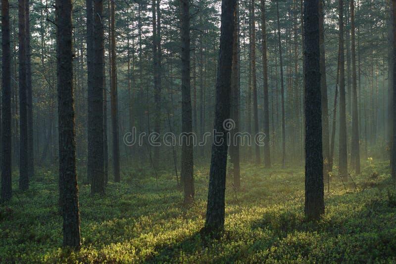 Landskap av morgonpinjeskogen, med ljust solsken som passerar till och med högväxta träd royaltyfri fotografi