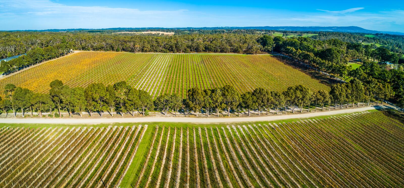 Landskap av raka rader av vinrankor i en vinodling royaltyfri foto