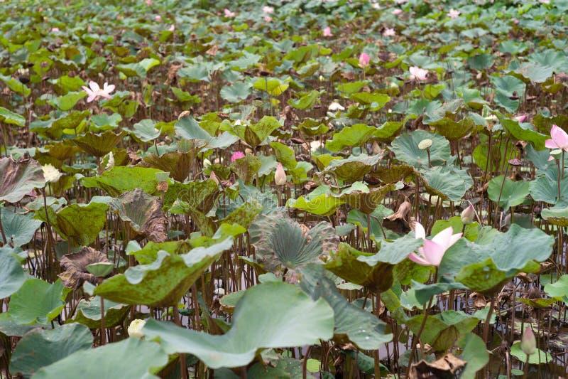 Landskap av rosa lotusblommor för blomning i dammet arkivfoto