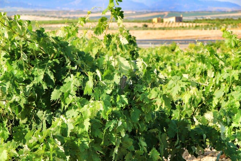 Landskap av vingårdar i Jumilla, Murcia landskap royaltyfri bild
