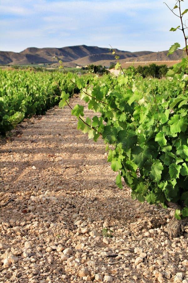 Landskap av vingårdar i Jumilla, Murcia landskap arkivbilder