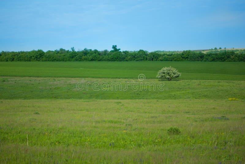 Landskap, ett blommande ensamt träd bland fält, ängar och skogar Bakgrund royaltyfri fotografi