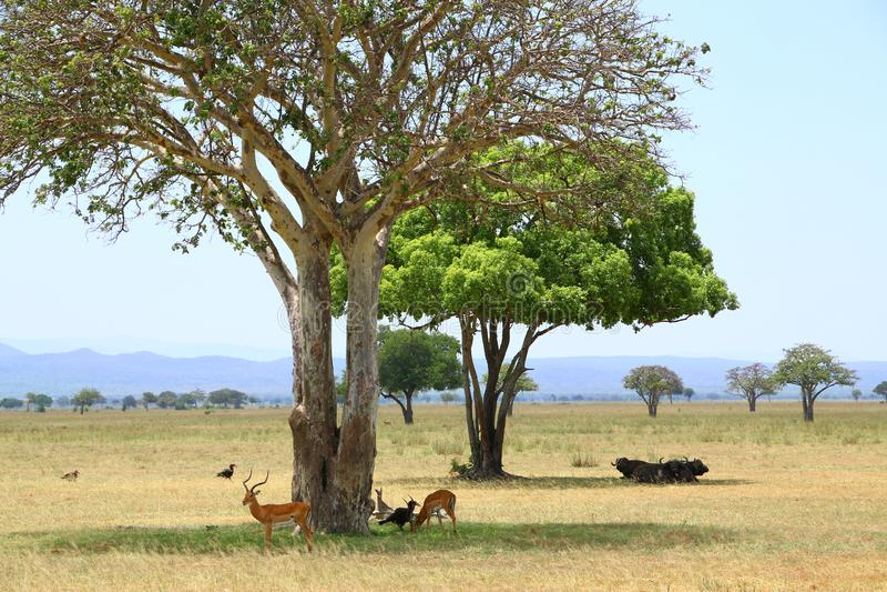 Landskap för Afrika nationalparksavann med antilop, bufflar royaltyfri bild