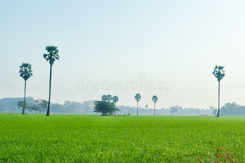 Landskap för irländarefält med sockerpalmträdet i mistbakgrunden royaltyfria foton