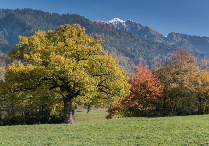 Landskap för nedgångfärgberg i den Maienfeld regionen av Schweiz med snöig maxima och färgrika träd royaltyfria bilder