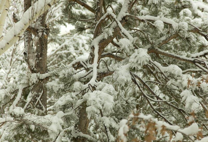 Landskap för träd för Lake Tahoe snöfoto royaltyfri bild