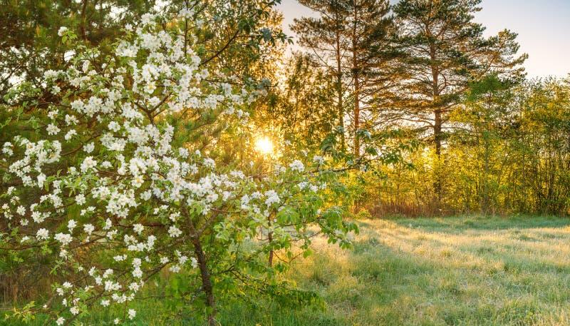 Landskap för vårskogpanorama med ett blomma äppleträd och en äng arkivfoto