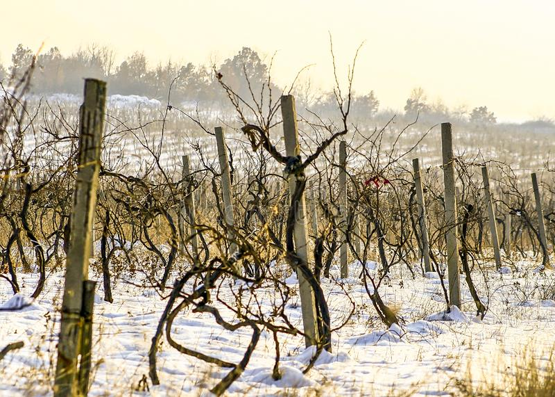 Landskap för vintersnötema på vingården royaltyfri bild