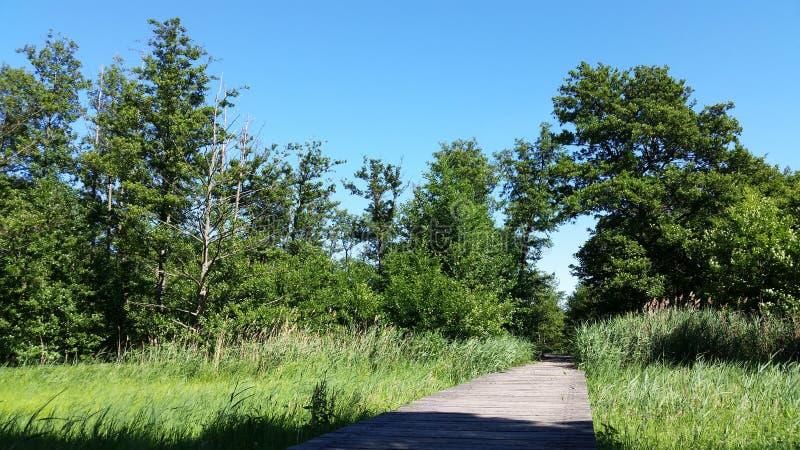 Landskap gör grön den naturliga och träbron med unga vasser royaltyfri bild