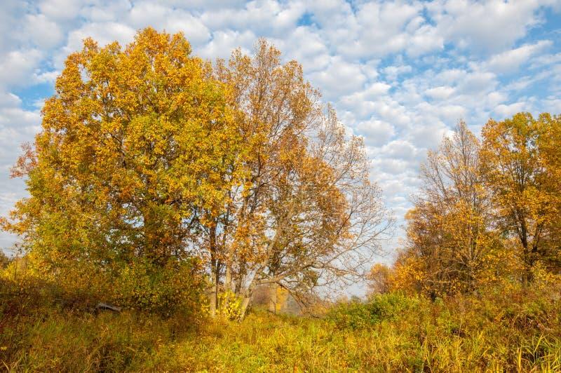 Landskap Höstäng, färgrika gula träd, härlig himmel arkivbild