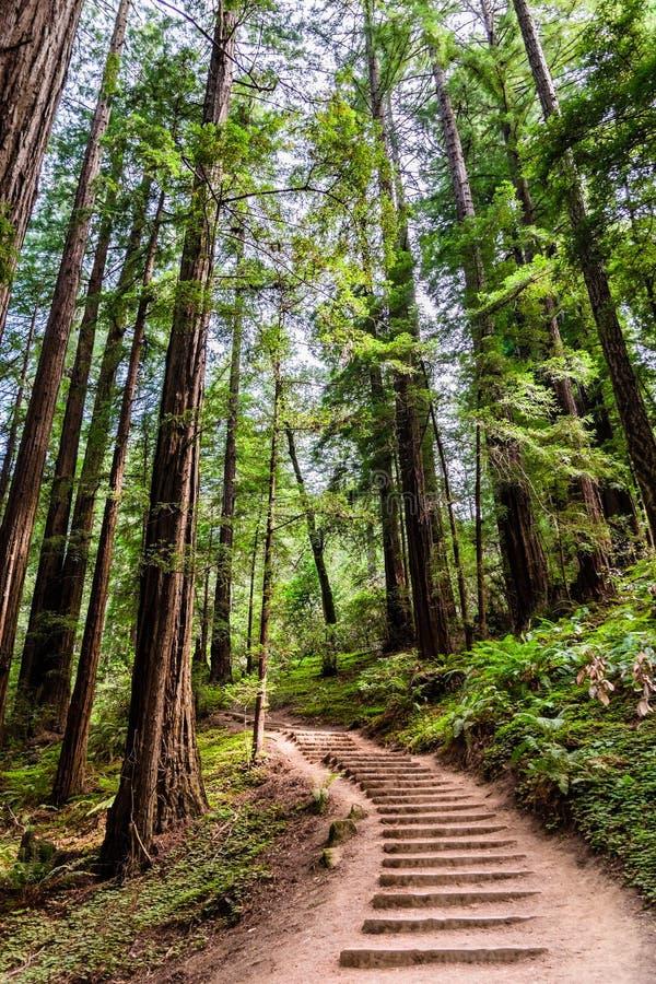 Landskap i Muir Woods National Monument fotografering för bildbyråer