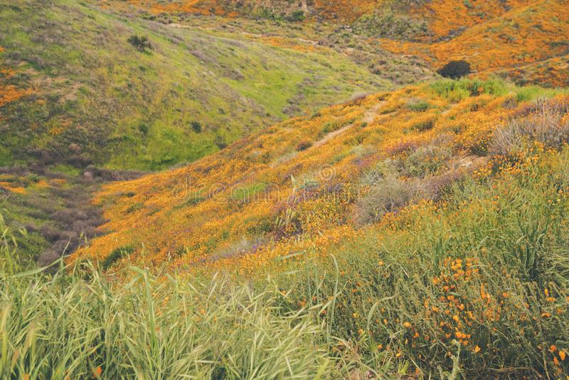 Landskap i Walker Canyon under superbloomen i Kalifornien Vallmo som täcker de bergdalarna och kanterna arkivfoton