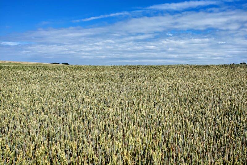 Landskap - jordbruks- fält med unga öron av vete, gröna växter och härlig himmel arkivbild