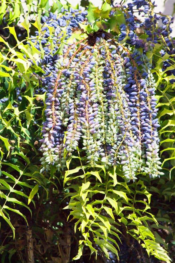 Landskap med en upprätt buske med distrinctive vintergröna lövverk och klungor av den pråliga druvan för pulverblått som klungor arkivbilder