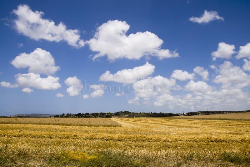 Landskap med fältet för Cobine plockningvete arkivbilder