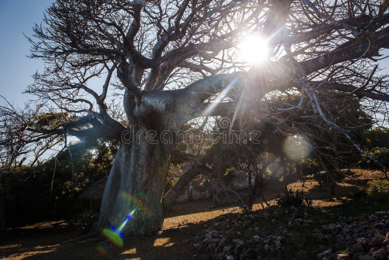 Landskap med solen som skiner till och med filialerna av en baobab royaltyfri bild
