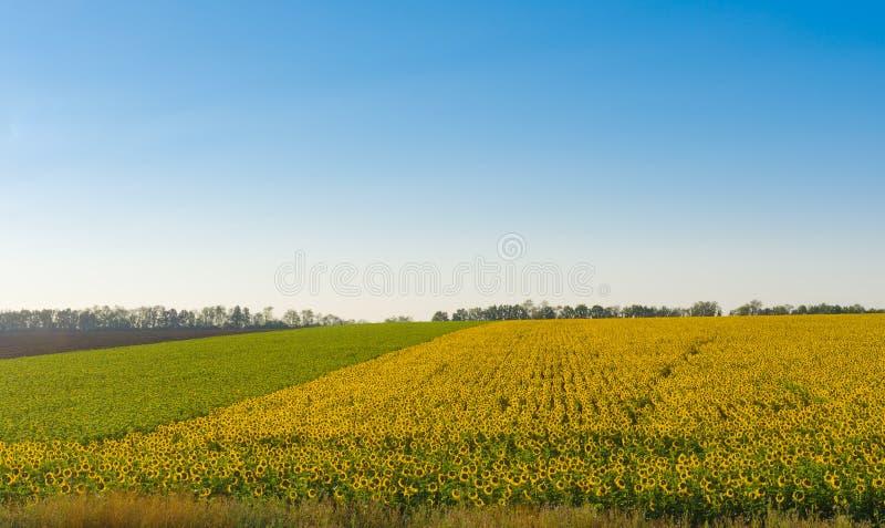Landskap med solrosfält och blå himmel i centrala Ukraina arkivbild
