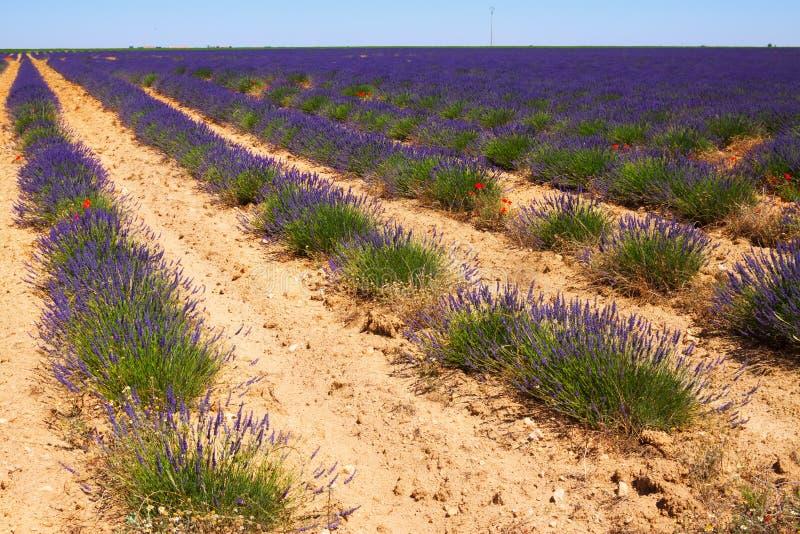 Landskap med växten av lavendel royaltyfri bild
