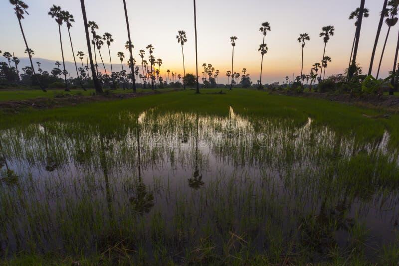 Landskap risfältet med sockerpalmträdbakgrund i solnedgång royaltyfri bild