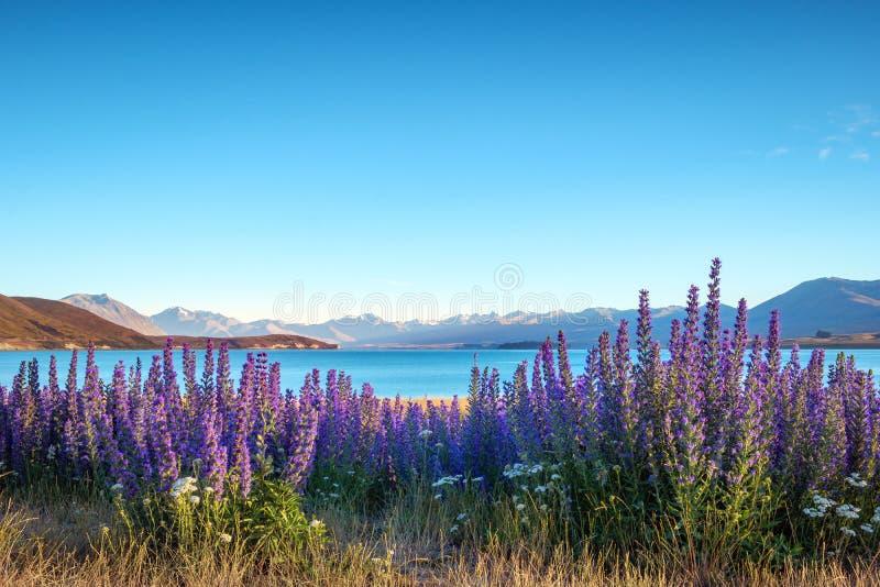 Landskap sikten av att blomma blommor och sjöTekapo berg, NZ royaltyfri fotografi