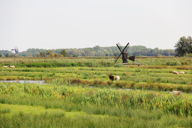 Landskap sikten av lantgårdfältet med sheeps och väderkvarnen, Zaanse Schans, Nederländerna arkivfoto