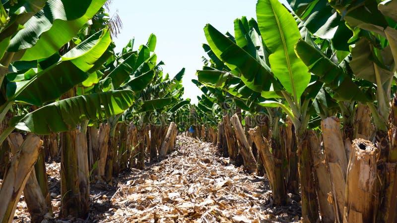 landskap vietnam för koloni för bananhoakhanh Bananlantgård Unga bananväxter i lantlig lantgård Dunge för bananträd på ön med väg arkivbilder