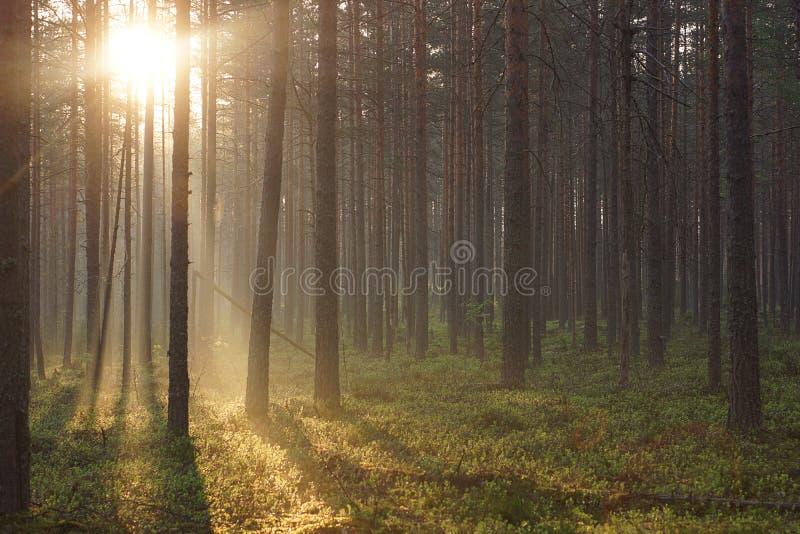 Landskapet av morgonskogen som översvämmas med solljus som passerar till och med högväxt, sörjer royaltyfri fotografi