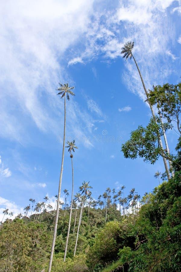 Landskapet i den Cocora dalen med vaxet gömma i handflatan, mellan mountaen arkivfoto