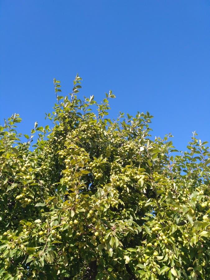 landskapet lämnar av ett äppleträd mot en blå himmel royaltyfri fotografi