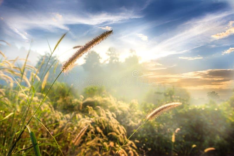 Landskapnatur av blommagräs i mjuk dimma med härlig blå himmel och moln arkivbilder