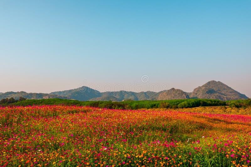 Landskapnaturbakgrund av berget och ängen som täckas i härligt kosmos på blå himmel arkivfoton